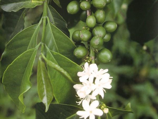 Fiori e caffè verde ABC